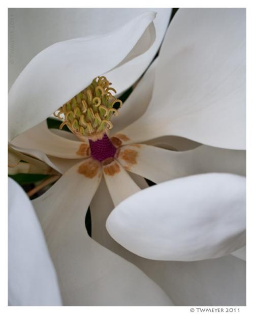 magnolia pistel