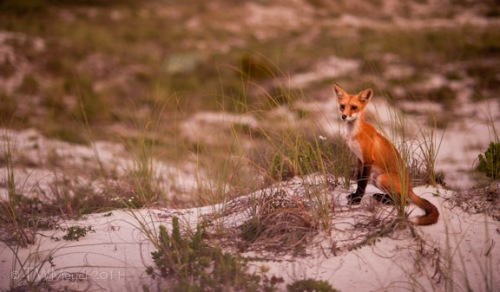 Florida Red Fox, 8:43pm, August 10 2011, © T.W. Meyer