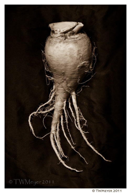 Brassica rapa #1 copyright T.W. Meyer 2011